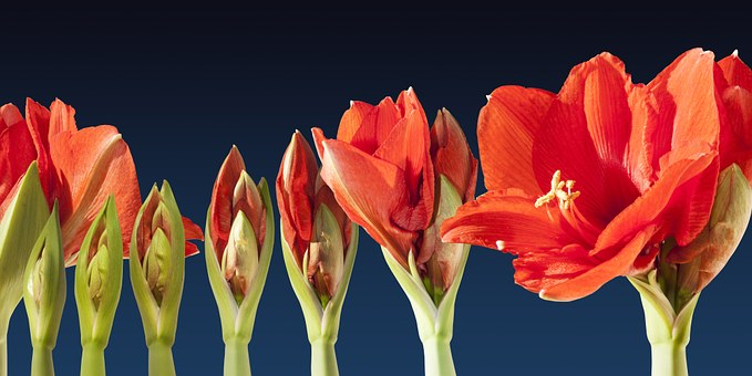 Grow, Blossom, Time Lapse, Sequence, Amaryllis, Flower