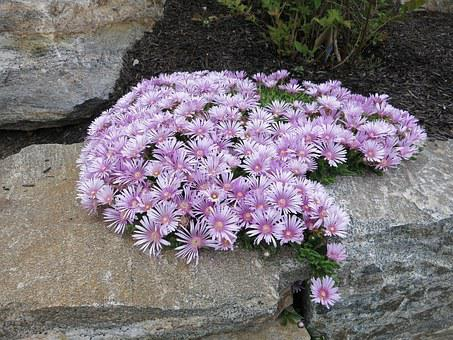 Ice Plant, Aizoaceae, Pink