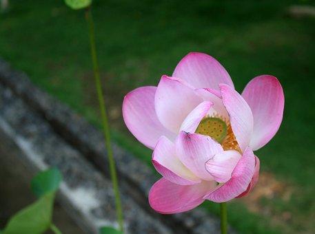 Bunga, Teratai, Lotus, Bali, Indonesia, Asian, Flower