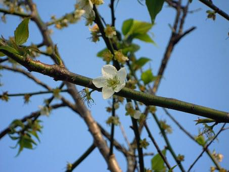 Plum Blossom, Japanese Apricot, 蔣 's Former Residence