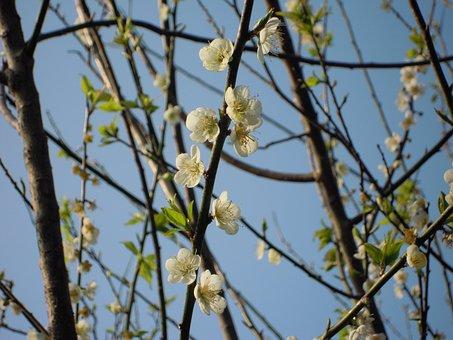 Plum Blossom, Spring, Japanese Apricot