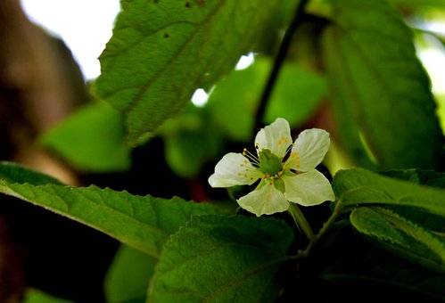 Bunga, Kersem, Indonesia, Beautiful, Flower, Flora