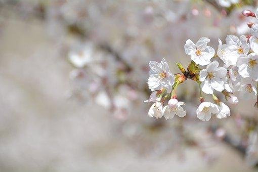 Cherry Blossoms, Petal, Light Pink, Pink, Spring