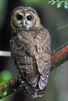 Northern Spotted Owl, Strix Occidentalis Caurina, Birds