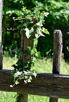 Fence, Wood Fence, Overgrown, Old, Ivy, Plant, Nature