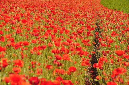 Poppy, Poppies, Red Poppy, Klatschmohn