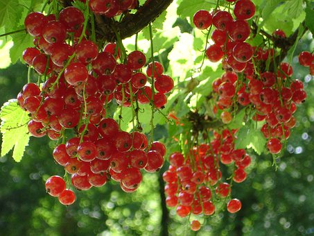 Red Currant, Currant, Ribes Rubrum, Ribes, Berry, Fruit