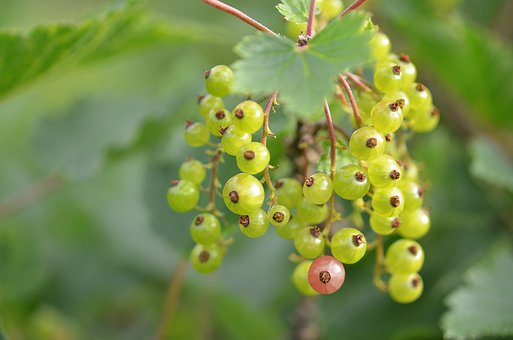 Red Currant, Berries, Immature, Bush, Ribes Rubrum