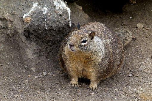 Marmot, Animal, Rocks, Coast, Mammal, Rodent, Burrough
