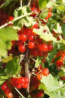 Currant, Red, Bush, The Plot, Plant, Fruit Shrub
