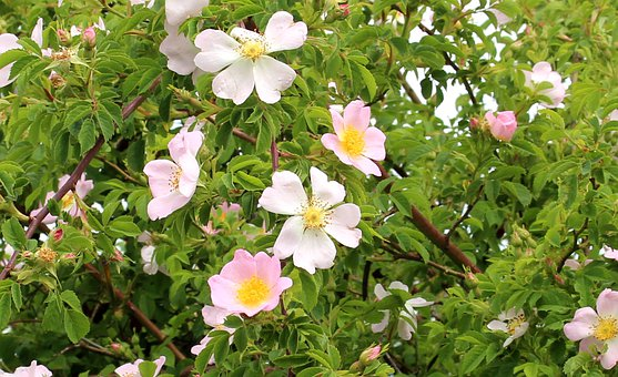Shrubs, Wild Rose, Wild Rosebush, Flowers, Beautiful