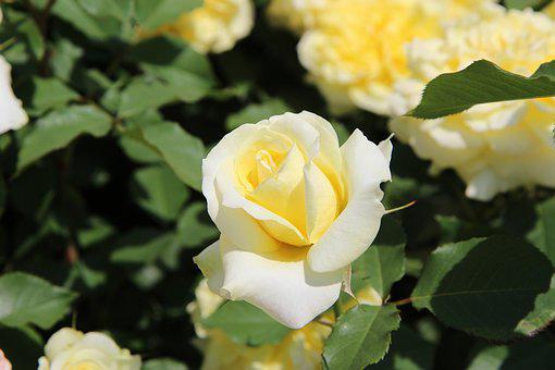 Yellow, Rose, Flowers, Nature, Pale, Summer, Background