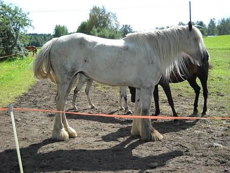 Shire, Shirenhevonen, Cold Blooded, Workhorse, Horse