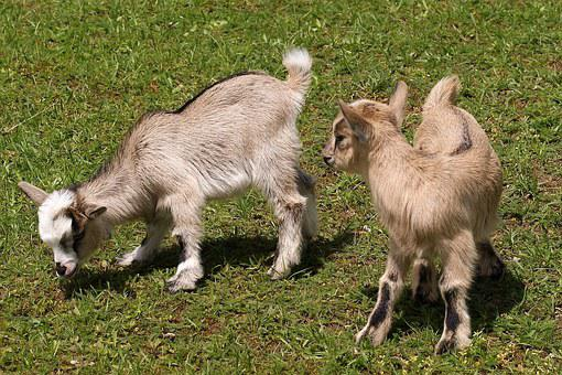 Kid, Young Animals, Goat, Domestic Goat, Cute