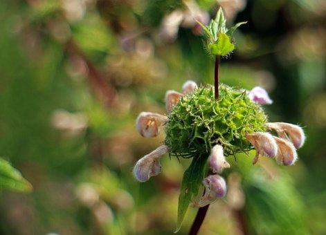 Fire Herb, Phlomis, Fire Herbs, Lip Flowers, Lamiaceae