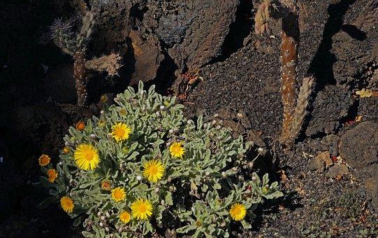 Nauplius, Intermedius, Flower, Flowers, Yellow