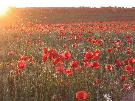 Poppy, Sea Of Flowers, Flowers, Cornfield, Sunset