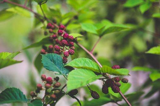 Fresh, Blackberries, Bush, Nature, Fruit, Young, Little