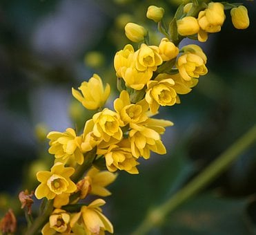 Oregon State Flower, Mahonia Flowers