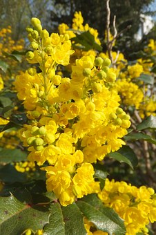 Flower, Yellow, Nature, Bush, Mahonia Aquifolium