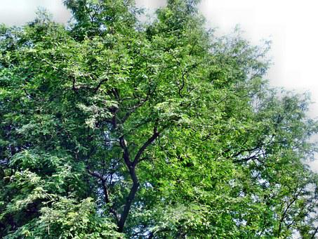 Tamarind, Tree, Nature, Green, Fresh, Leaf, Tropical
