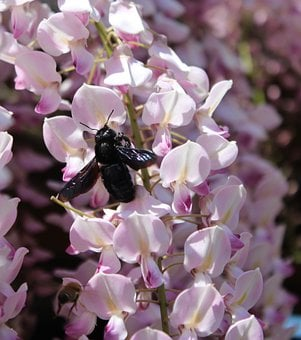 Carpenter Bee, Xylocopa, Wisteria, Nectar