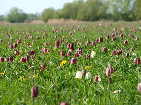 North Meadow, Cricklade, Fritillaries, Flowers, Rare