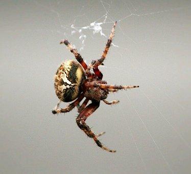 Comb-claw Spider, Arachnid, Web Weaving, Predator