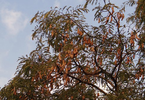 Tamarind Tree, Tamarindus Indica, Tree, Fruit, Sour