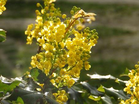 Plant, Mahonia, Flower, Spring, Yellow, In The Sun