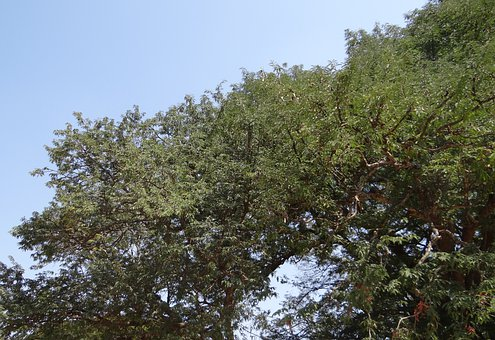 Tamarind Tree, Tamarindus Indica, Fruit, Sour