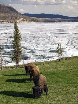 Bison, Winter, Yellowstone National Park, Wyoming, Usa