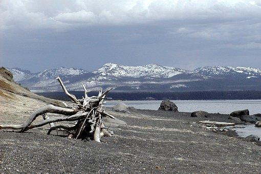 Yellowstone Lake, Wyoming, Usa, Roots, Nature