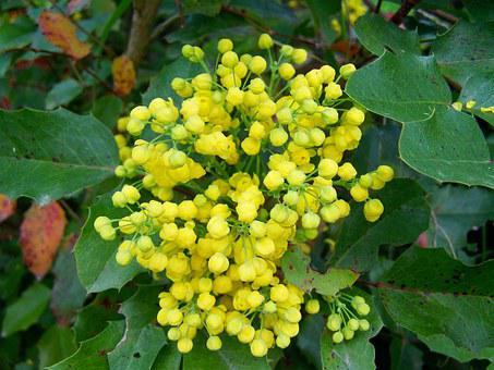 Mahonia Flower, Yellow Flower, Spring