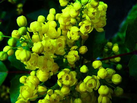 Mahonia, Yellow Flower, Spring