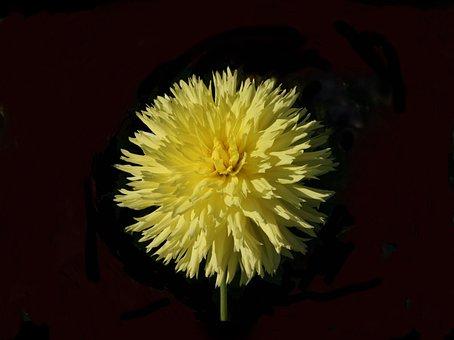 Dahlia, Hissy Fitz, Yellow, Cactus Form