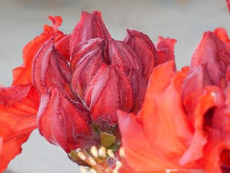 Shrub, Azalea, Nature, Spring, Bush, Garden, Blooming