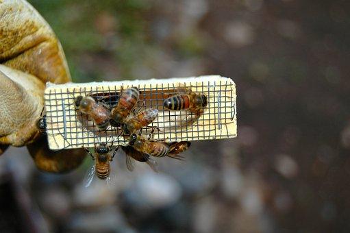 Bees, Queen Cage, Beekeeping, Beekeeper, Worker