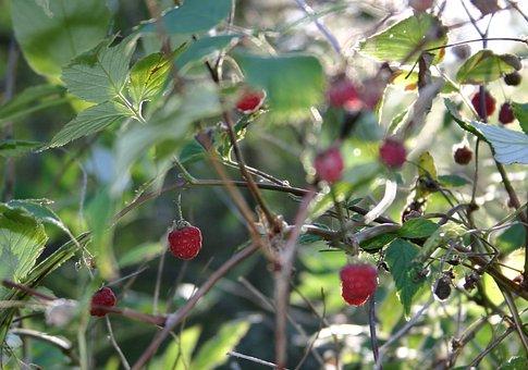 Berries, Wild Berry, Summer, Ripe, Sweet, Raspberry