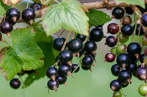Currant, Black, Black Currants, Frisch, Garden, Nature