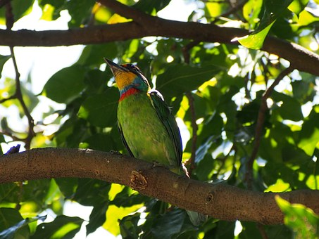 Colored Birds, Monk, Quasi Woodpecker, Muller's Barbet