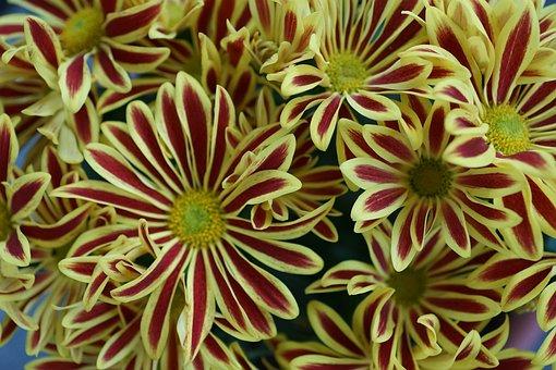 Chrysanthemum, Flower, Yellow, Colorful, Plant, Macro