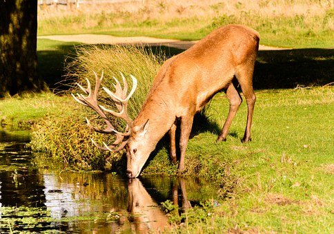 Deer, Stage, Animal, Red, Wild, Antlers, Grass, Trees