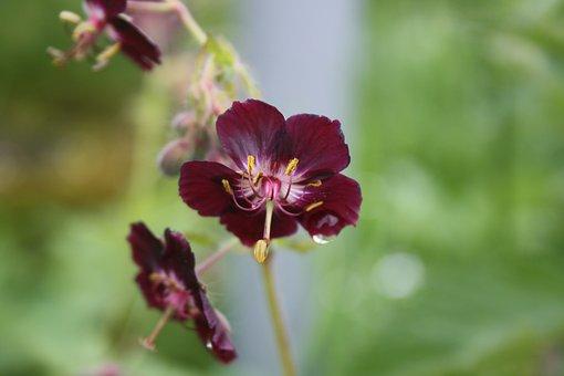 Purple Brown Storchschnabel, Front View, Dewdrop