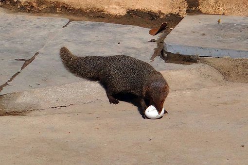 Mongoose, Grey, Indian, Egg, Grappling, India