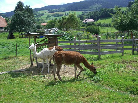 Lama, Garden, Enclosure, Gate, Fence, Shelter, Nature