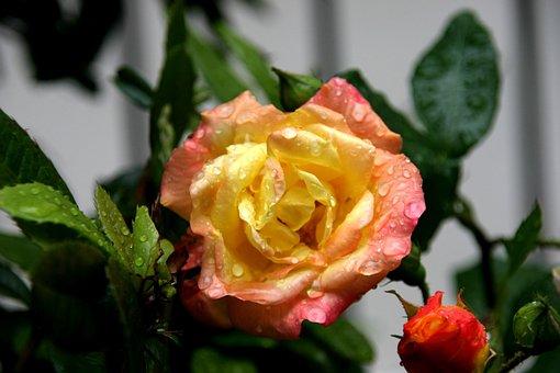 Rose, Yellow, Dew, Open, Flower, Nature, Macro, Plant