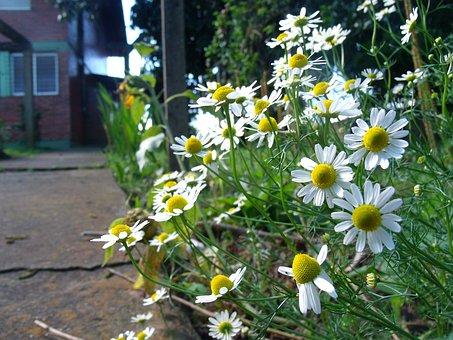 Chamomile, Flower, Nature, Tea, Plant, Flowers, Beauty