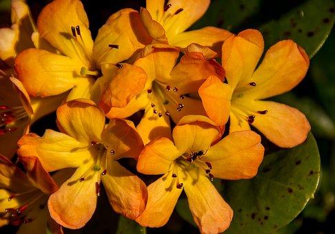 Rhododendron, Vireya, Flowers, Bloom, Orange, Yellow