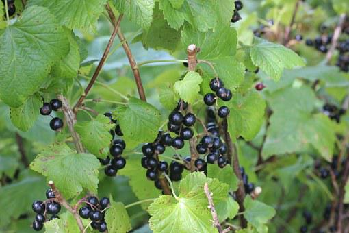 Black Currants, Bed, Green, Fruit, Fruits, Healthy